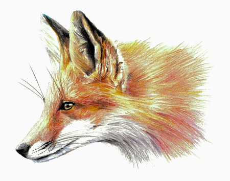 Color sketch - Fox profile. On white background. Detailed pencil drawing