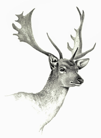 pencil drawings: Deer hand drawing, isolated on white
