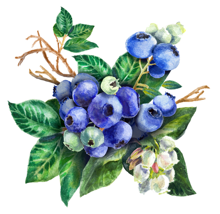 Blue berry isolated on white. Watercolor painting