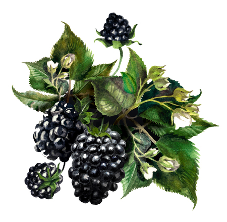 Blackberries on a drips of watercolor background, watercolor painting Reklamní fotografie - 75090484