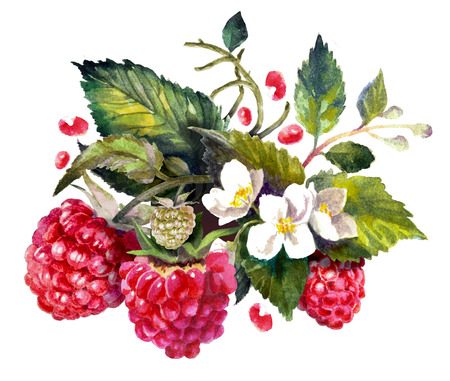Raspberries composition isolated on white. Watercolor painting