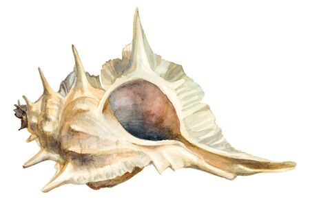 Watercolor sand color seashell on a white background. Stock Photo