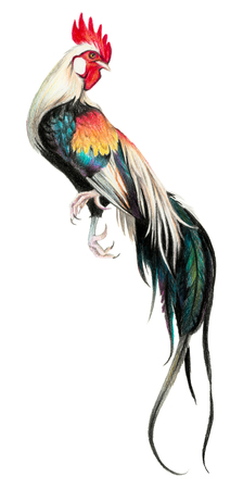 pictorial art: Color drawing with watercolor pencils. Rooster on a white background. Stock Photo