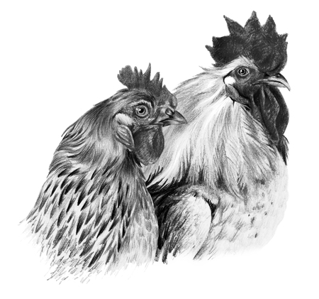 Graphic drawing. Hen and cock on white background