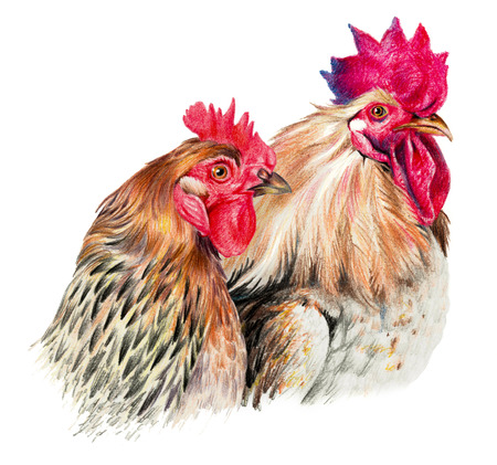 ornithologist: Color drawing with watercolor pencils. Hen and cock on white background Stock Photo