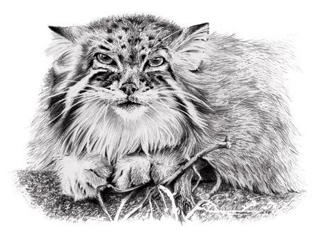 mustached: Sketch of Manul isolated on white background. Carnivorous wild cat. Pencil hand drawing
