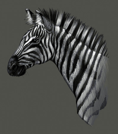 Drawing detailed. Zebra head isolated on gray background