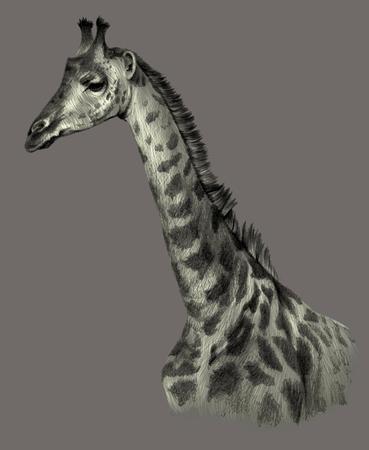 Drawing Portrait of a giraffe portrait on a gray background