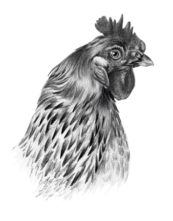 pictorial art: Graphic drawing. Detailed chicken head in profile on a white background.