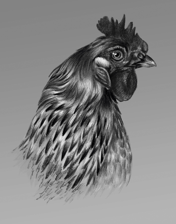 pictorial art: Graphic drawing. Detailed chicken head in profile on a gray background. Stock Photo