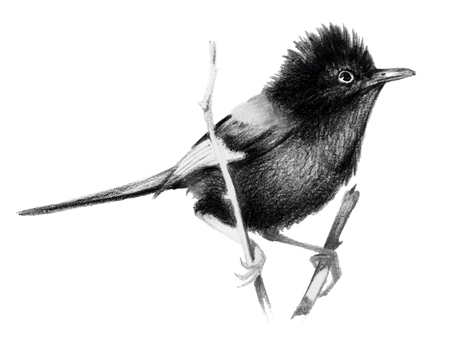 Red backed fairy wren sitting on a branch. Pencil drawing, isolated on white background