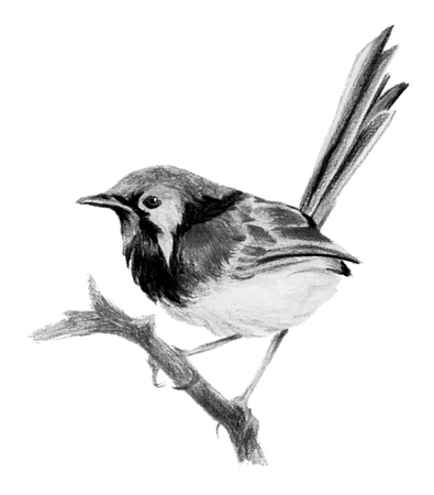 Lovely fairywren (malyur) sitting on a branch. Pencil drawing, isolated on white background Reklamní fotografie