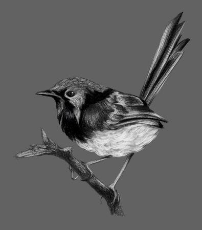 Lovely fairywren (malyur) sitting on a branch. Pencil drawing, isolated on grau bsckground Reklamní fotografie