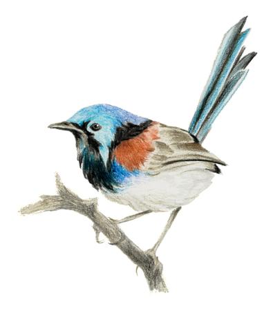 Lovely fairywren (malyur) sitting on a branch. Color pencil drawing Reklamní fotografie - 75014789