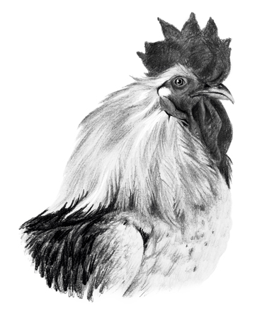 pictorial art: Graphic drawing. Head of rooster in profile on a white background. Stock Photo