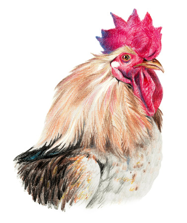ornithologist: Color drawing with watercolor pencils. Head of rooster in profile on a white background.
