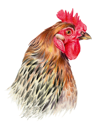 pictorial art: Color drawing with watercolor pencils. Head of chicken in profile on a white background. Stock Photo