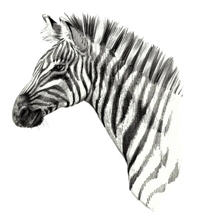 Drawing detailed. Zebra head isolated on white background