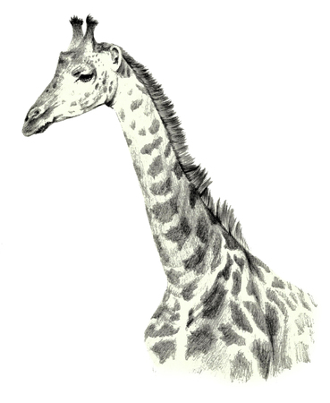 Drawing portrait of a giraffe portrait on a white background