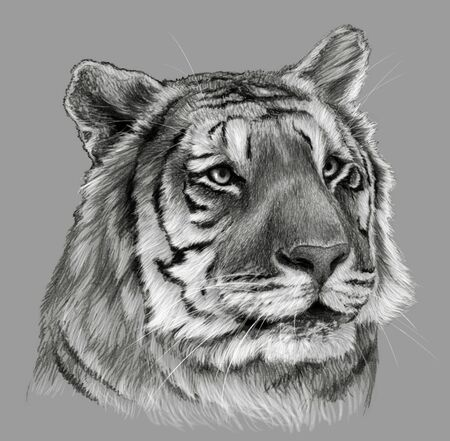 Tiger`s head isolated on gray background. Pencil drawing, monochrome image Stock fotó