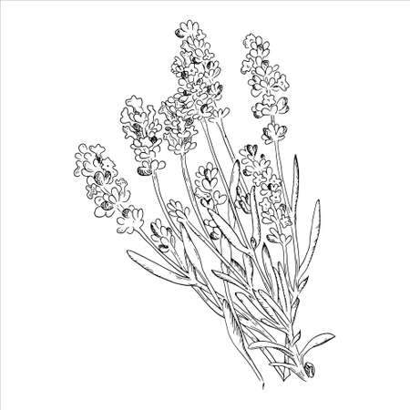 Lavender drawing set. Isolated wild flower and leaves. Herbal engraved style illustration. Detailed botanical sketch for organic cosmetic, medicine, aromatherapy, beauty store, perfume,