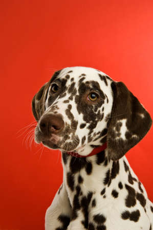 dalmaion dog isolated on a red background photo