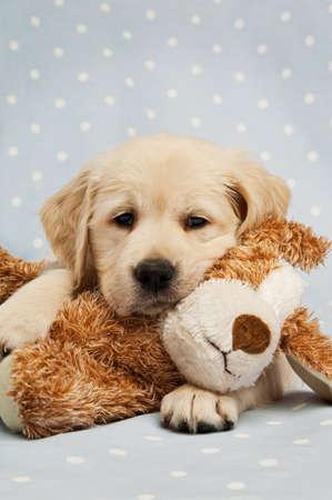 perro labrador: Cachorro Golden Retriever aislado en un fondo azul con un osito de peluche