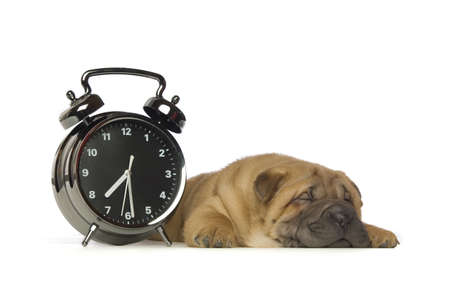 Small, cute Shar-Pei puppy with a large black and white clock isolated on a white background