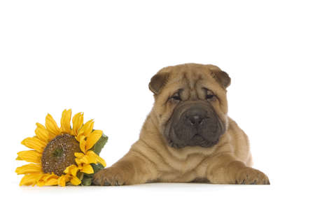 Small, cute Shar-Pei puppy with a yellow sunflower isolated on a white background