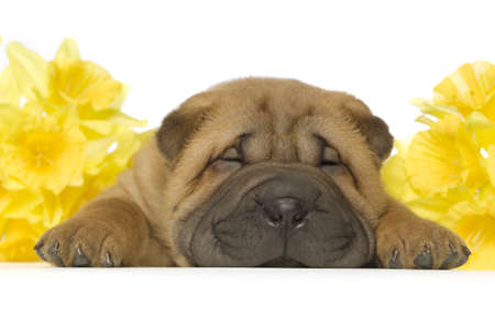 Small, cute, Shar-Pei puppy with yellow daffodil flower on a white background Standard-Bild