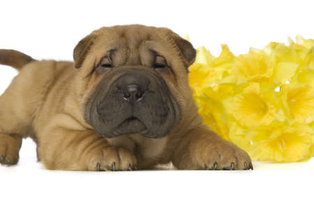 Small, cute, Shar-Pei puppy with yellow daffodil flower on a white background Stock Photo