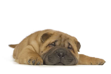 Small, cute Shar-Pei puppy laid down sleeping isolated on a white background Stock Photo