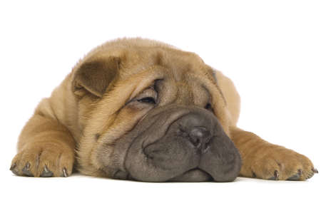 Small, cute Shar-Pei puppy laid down sleeping isolated on a white background Standard-Bild