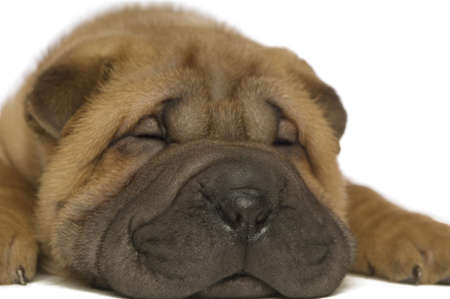 Small, cute Shar-Pei puppy laid down sleeping isolated on a white background, close up photo