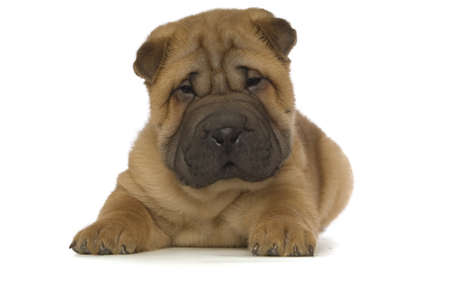 Small, cute Shar-Pei puppy isolated on a white background Stock Photo