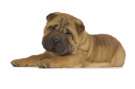 Small, cute Shar-Pei puppy isolated on a white background photo