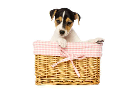 Jack Russell Terrier puppy in a wicker basket isolated on a white background