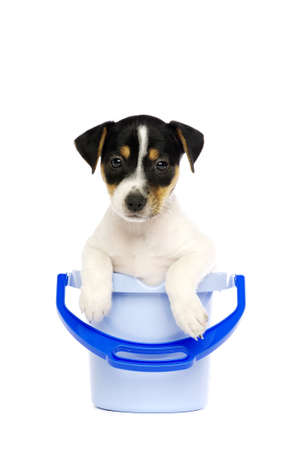 Jack Russell Terrier puppy in a blue bucket isolated on a white background