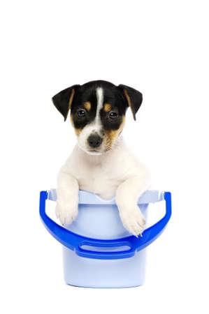 Jack Russell Terrier Welpen in einem blauen Eimer auf einem wei�en Hintergrund