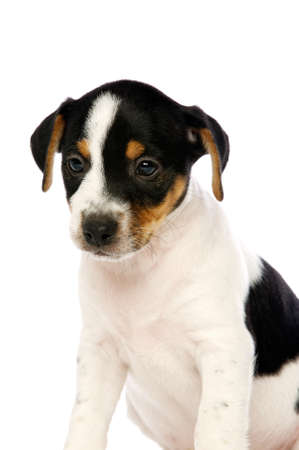 Jack Russell Terrier Welpen isoliert auf wei�em Hintergrund Lizenzfreie Bilder