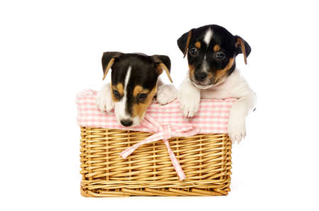 Jack Russell Terrier puppies in a wicker basket isolated on a white background