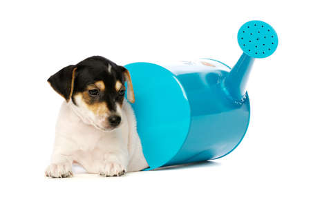 Jack Russell Terrier puppy with a blue watering can isolated on a white background photo