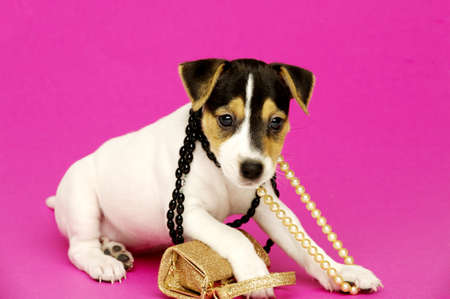 Jack Russell Terrier puppy with necklaces isolated on a pink background photo