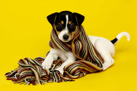 Jack Russell Terrier puppy wearing a scarf isolated on a yellow background