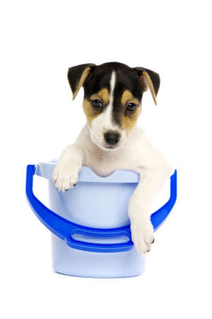 Jack Russell Terrier puppy in a blue bucket isolated on a white background photo