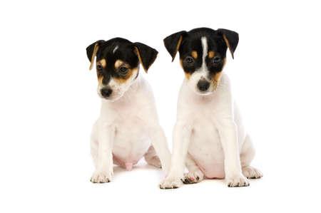 Jack Russell Terrier Welpen auf einen wei�en Hintergrund isoliert