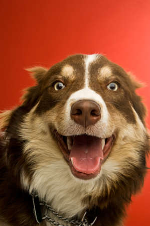 collie: Border Collie dog isolated on a red background Stock Photo