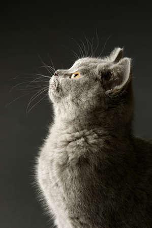 Britische kurzhaarige graue Katze auf einem grauen Hintergrund