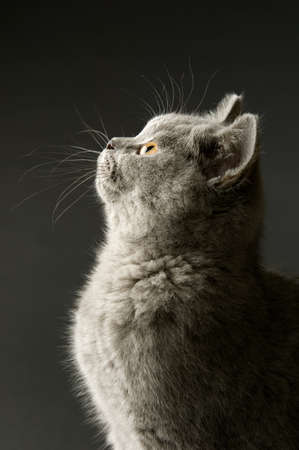 British short haired grey cat isolated on a grey background