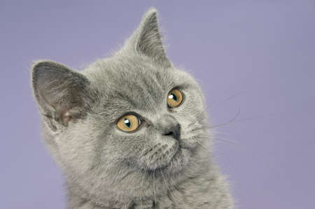 British short haired grey cat isolated on a purple background Stock Photo